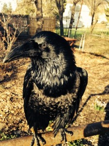 Gimbal is a well-groomed, black, African Raven. He is showing his face in profile.